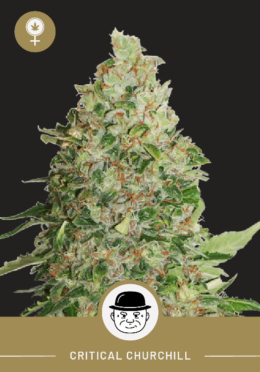 Critical Churchill – Feminized