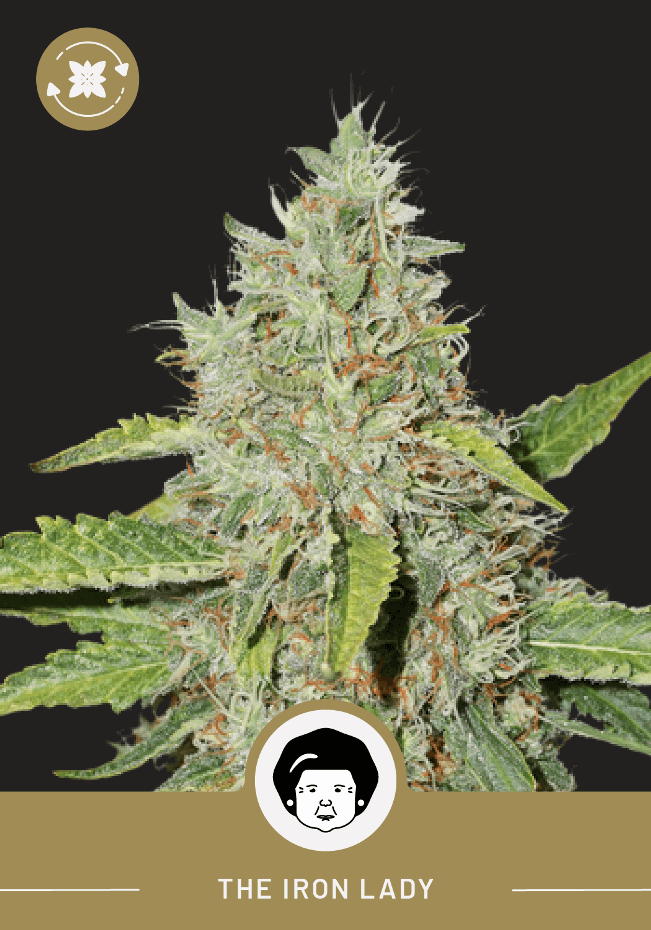 Iron Lady – Autoflower