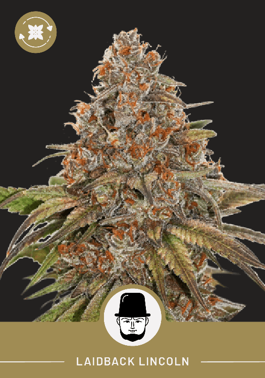 Laidback Lincoln – Autoflower