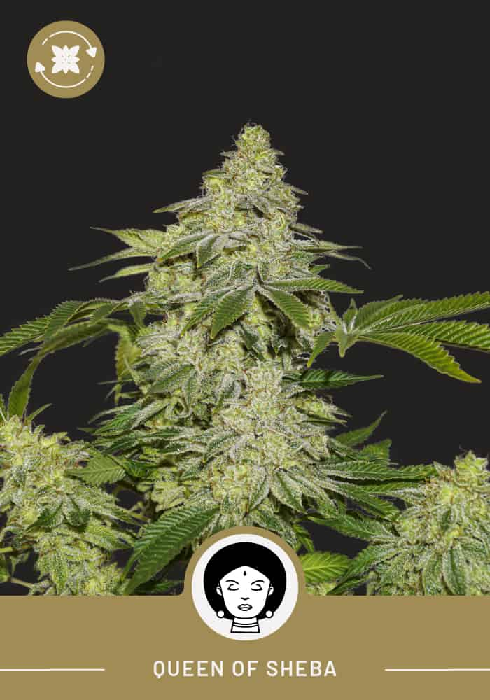 Queen Of Sheba – Autoflower