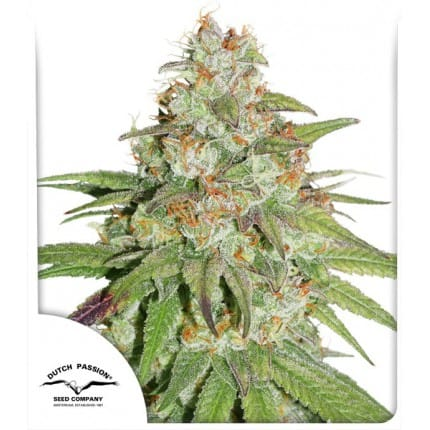 Glueberry OG – Feminized