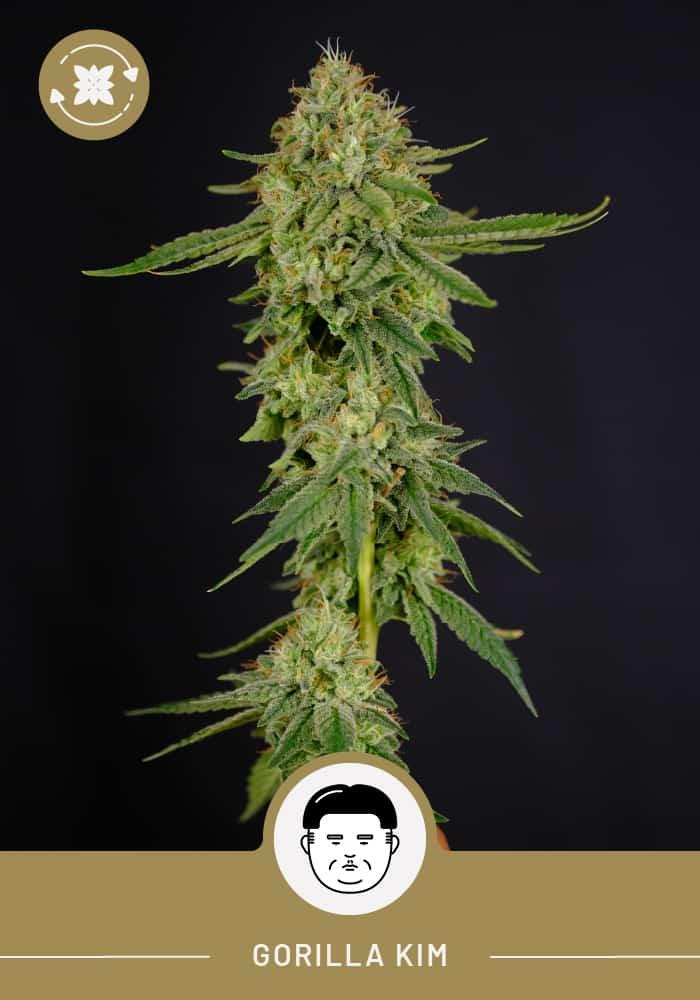 Gorilla Kim – Autoflower