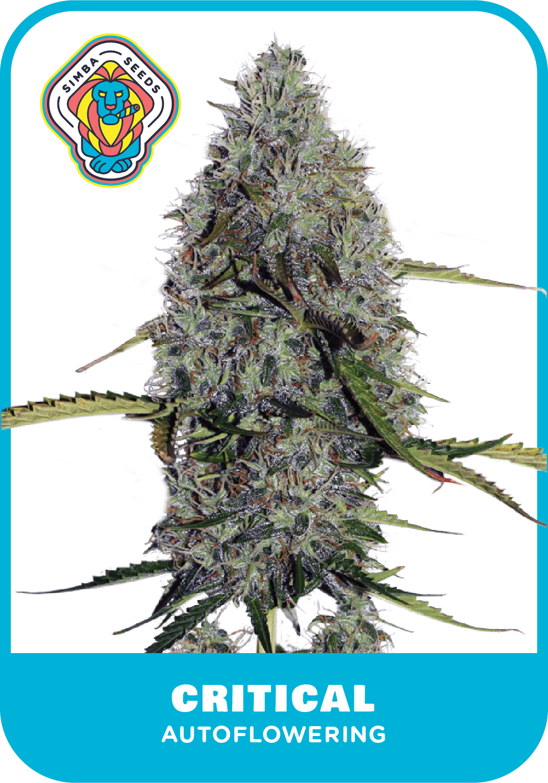 Simba Seeds Critical – Autoflower