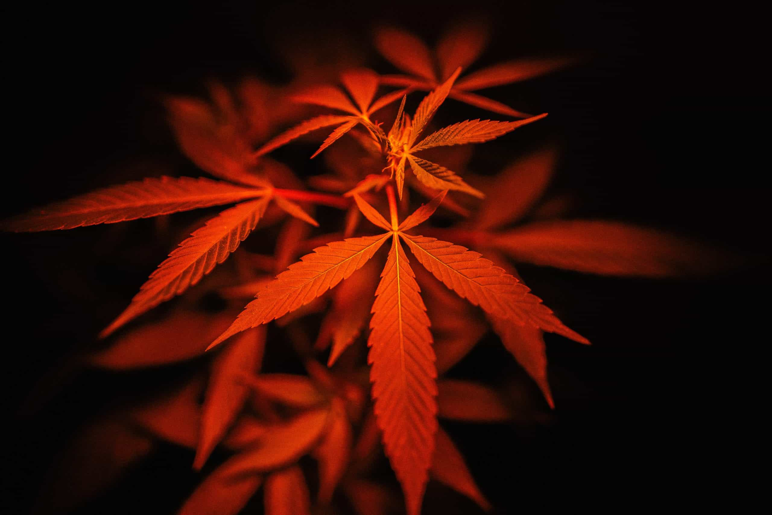 To Indica Or To Sativa – That's The Question!